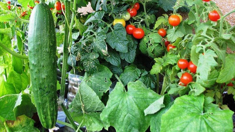 выращивание на балконе