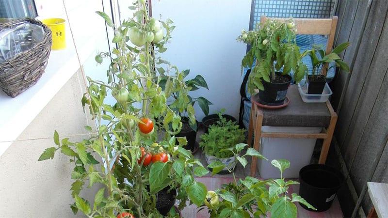 урожай с огорода на балконе