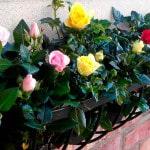 Как вырастить розы на балконе своими руками