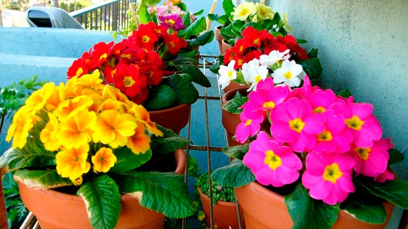 Выращивание петунии на балконе: уход своими руками.