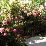 Как вырастить розы на балконе
