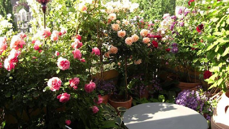 Выращивание розы на английском 2