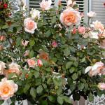 Как вырастить цветы на балконе