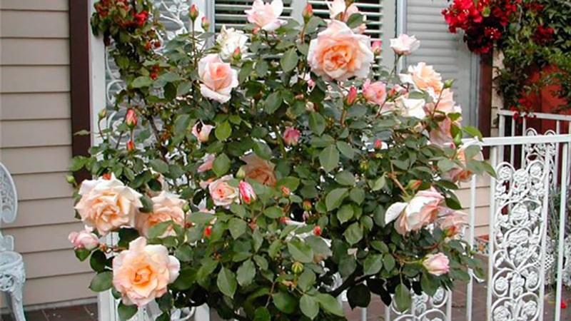 Черенки роз перезимовали в грунте на балконе.