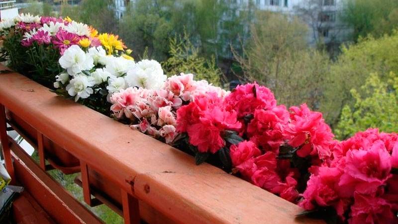 Цветы на балконе: какие можно и лучше выращивать, выращиваем.