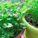 Как вырастить петрушку на балконе