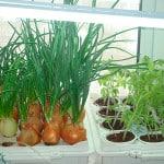 Как вырастить лук на балконе