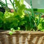 Кк вырастить зелень на балконе