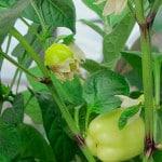 Как вырастить болгарский перец на балконе