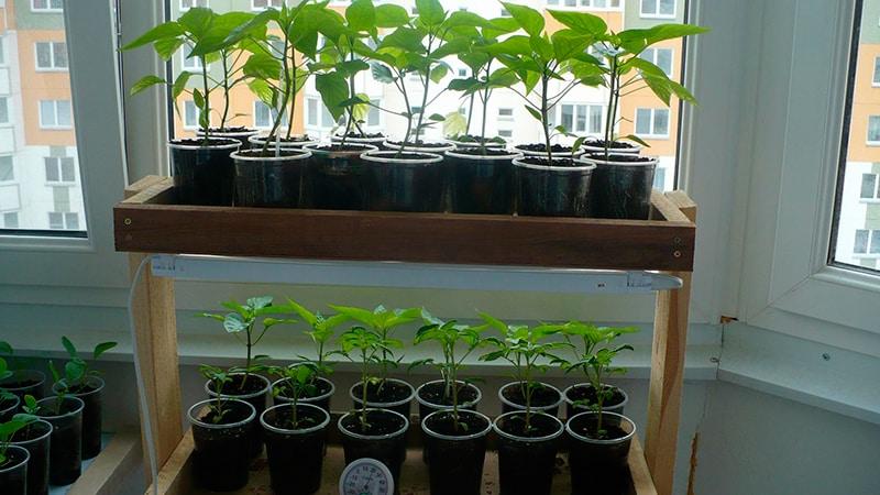 Растим перец на балконе