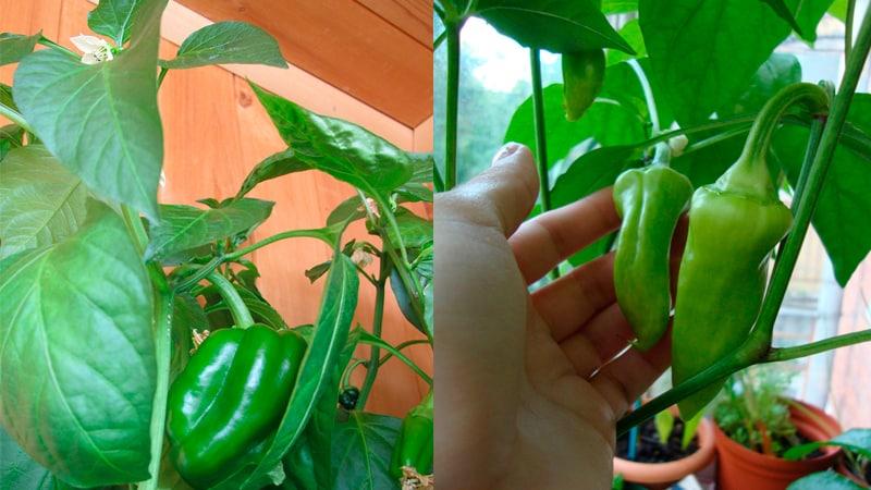 Перец сладкий выращивание в квартире 61