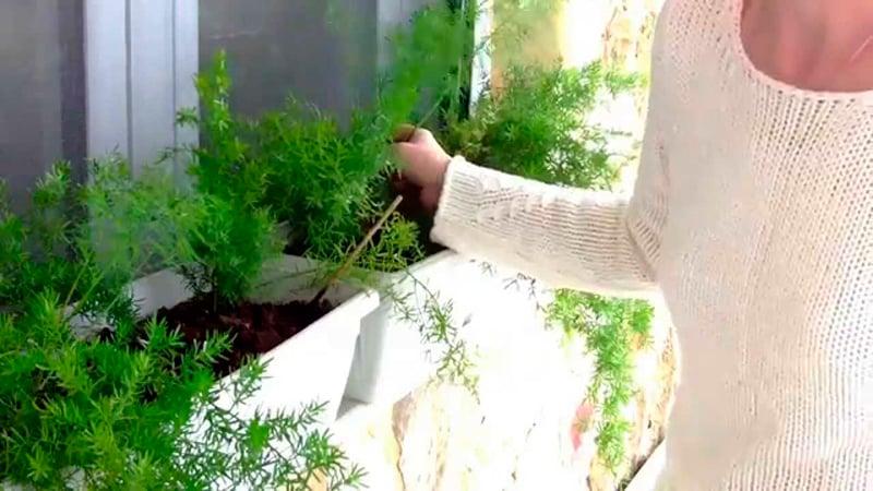 Как вырастить петрушку и укроп на балконе