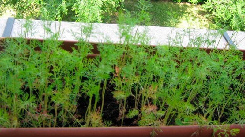 Выращивание укропа в огороде 13