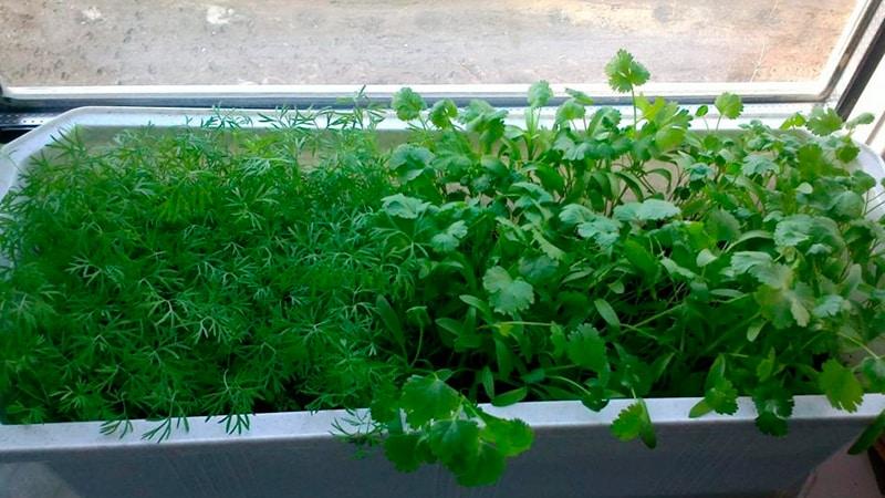 Как выращивать зелень на балконе: мини-огород своими руками