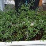 Как вырастить укроп на балконе