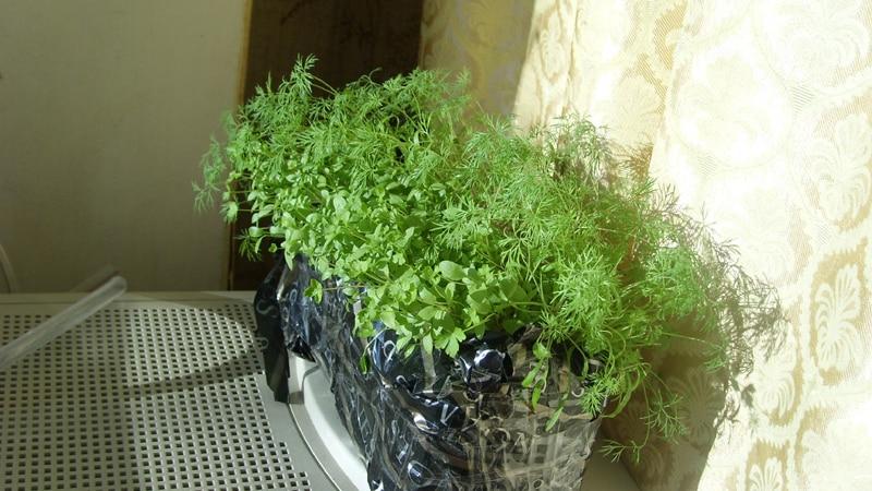 Укроп и петрушка на балконе: выращивание в домашних условиях.