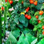 Выращивание овощей на балконе