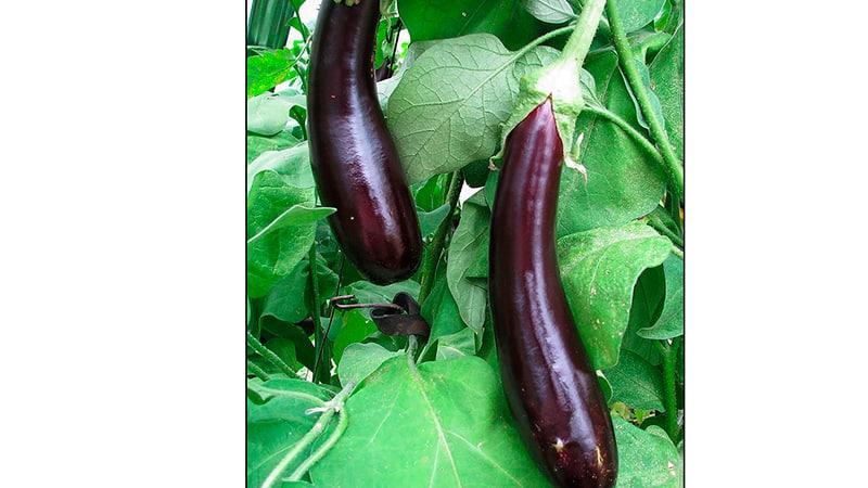 Выращивание овощей на балконе: картошка, баклажаны, тыква.