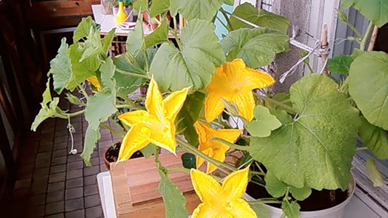 Выращиваем тыкву на балконе