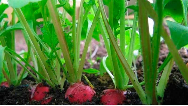 Выращивание редиса на балконе