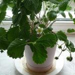 Выращивание ягод на лоджии