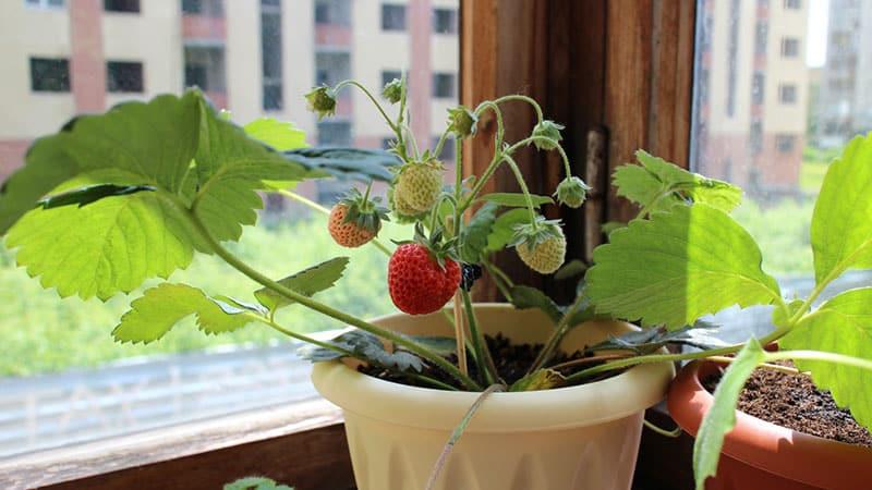 Условия выращивания ягод