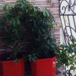 Дикий и девичий виноград на балконе: особенности выращивания.
