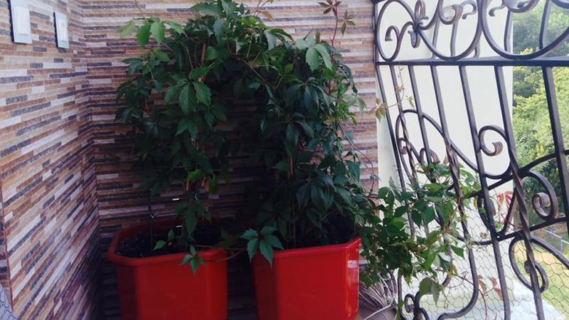 Виноград на балконе - выращивание в горшках