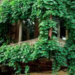 Виноград на балконе выращивание в емкостях
