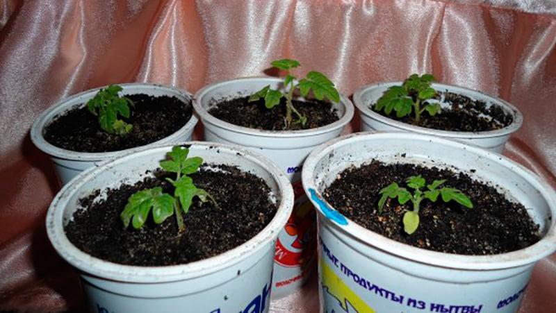 Выращиваем саженцы дикого винограда