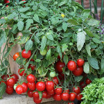 Выращивание помидор черри на балконе