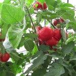 Растим томаты на балконе