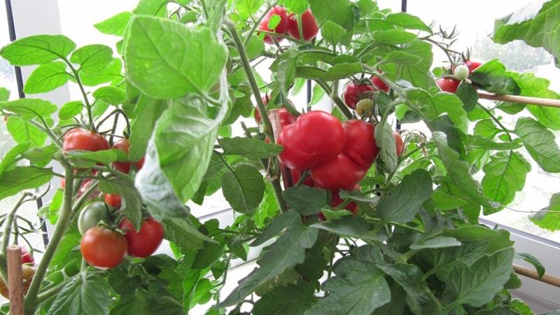 Выращивание томатов в бутылках 921