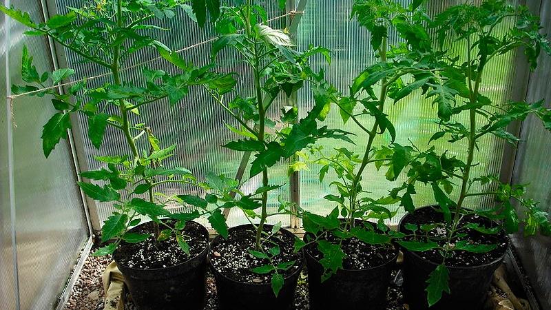Выращивание саженцев помидор