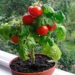 Растим помидоры на балконе самостоятельно