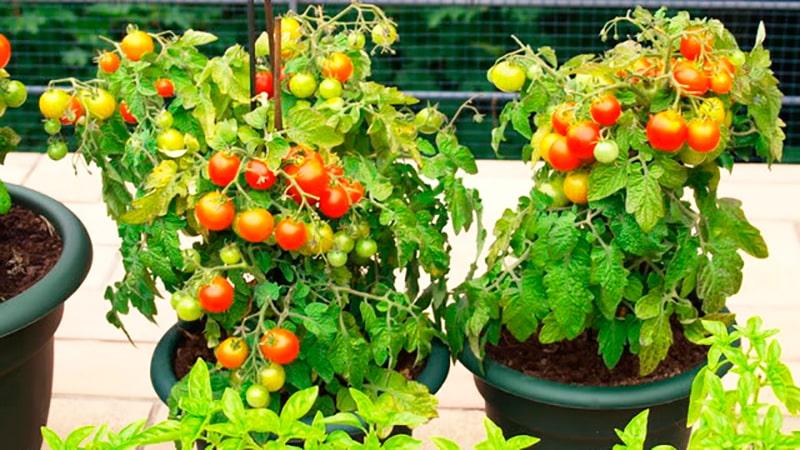 Как вырастить помидоры на балконе