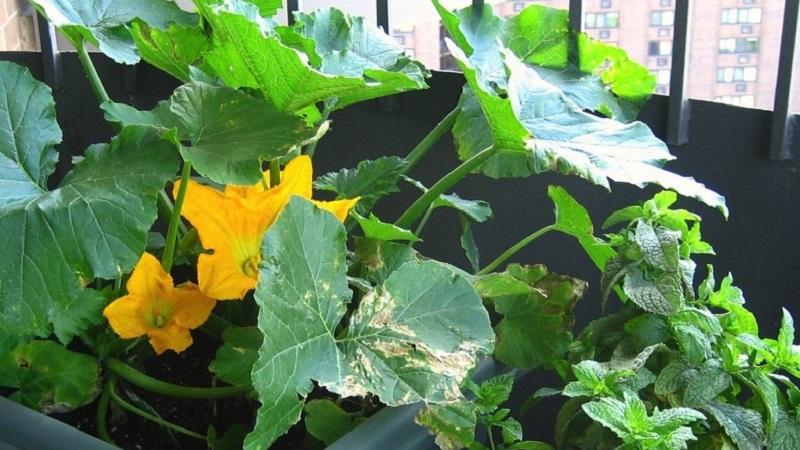 Кабачки на балконе выращивание от А до Я