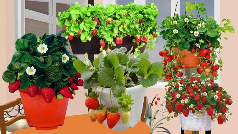 Балконный огород: как вырастить клубнику на балконе