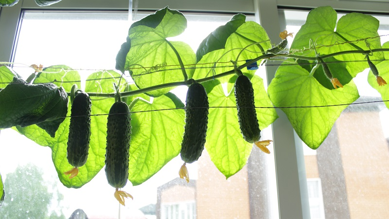 Можно ли выращивать огурцы на балконе: выбор сорта и особенности ухода