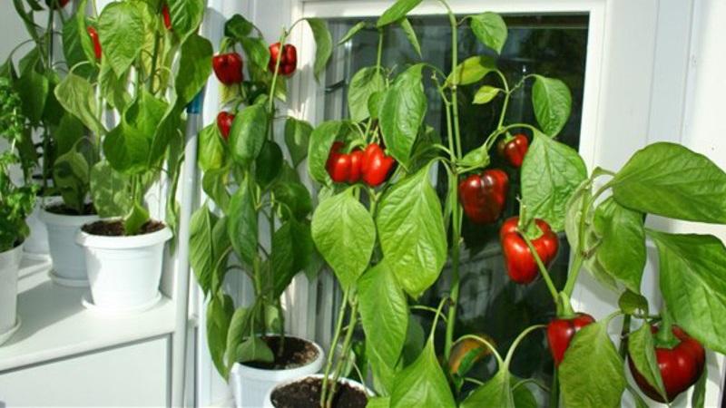 Можно ли вырастить перец на балконе - инструкция для начинающих