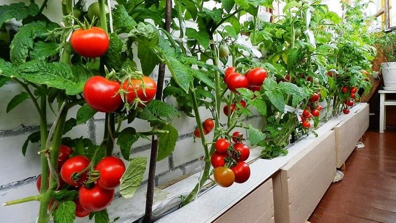 Можно ли вырастить помидоры на балконе: инструкция для начинающих