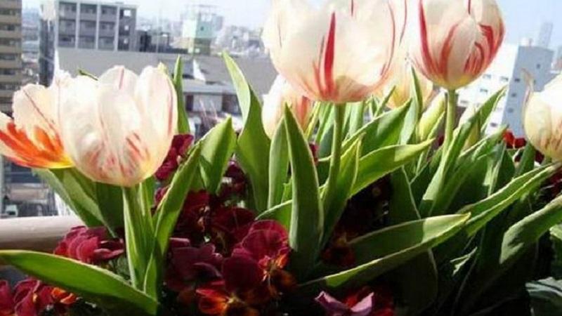 Тюльпаны на балконе: особенности ухода