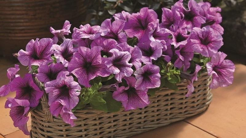 Петуния на балконе: особенности посадки и ухода за растением