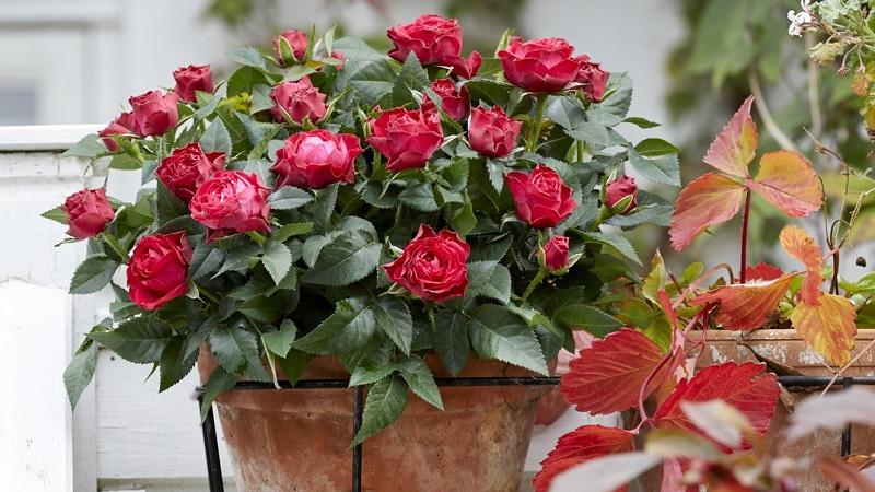 Выращиваем розы на балконе: особенности посадки и ухода
