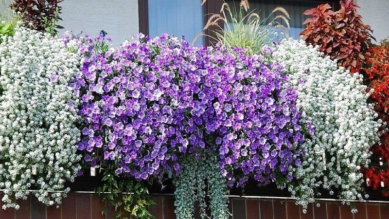Цветы на балконе: выбор и посадка